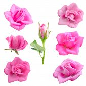 pic of single white rose  - Set Pink roses isolated on white background - JPG