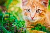 stock photo of orange kitten  - Young Playful Kitten Hunting In Grass Outdoor At Sunny Summer Day