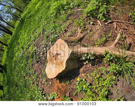 Stump Of The Cut Tree On The Edge Of The Forest