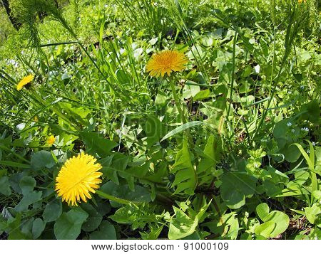 Sunny Meadow With Yellow Dandelions