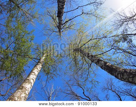 Three Birch Trees On The Background Of The Spring Sky