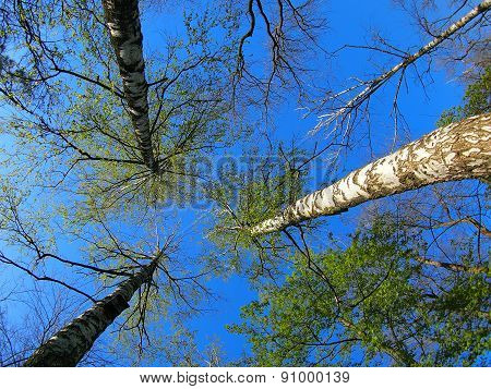 Birch Trees On The Background Of The Spring Sky - View From Below