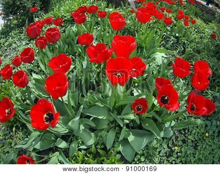 Flowerbed With Red Tulips