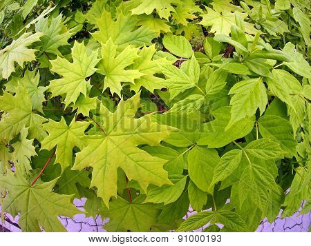 Maple Leaves Close Up
