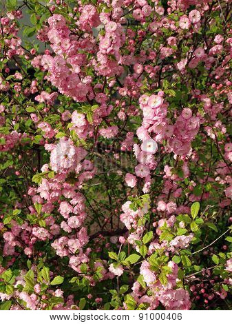 Spring Bush With Flowers