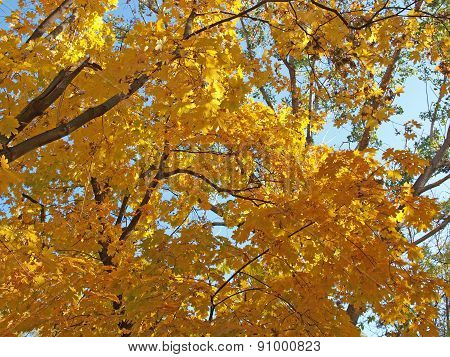 Yellow Maple Leaves Against The Blue Sky