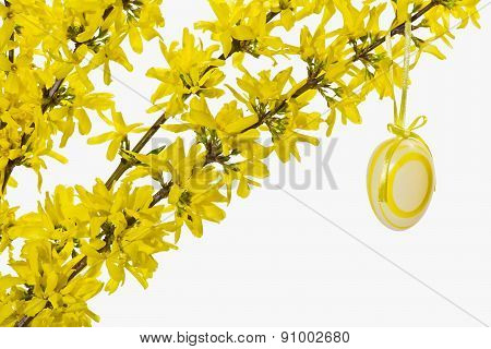 Decoration of blooming forsythia twigs with Easter egg