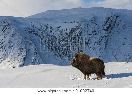 Muskox And Mountain