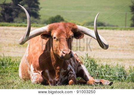 Texas Longhorn At Rest