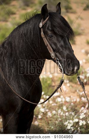 Front Of Black Stallion With Bridle