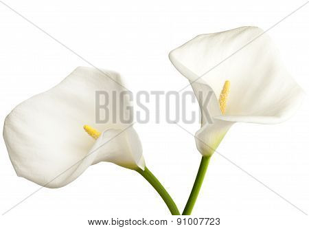 Calla On White