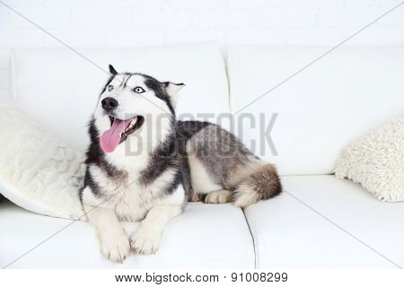 Beautiful cute husky lying on sofa in white room