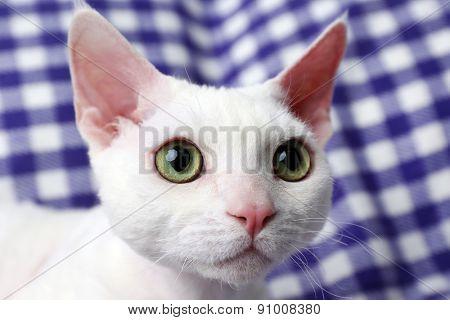 Beautiful white cat on plaid