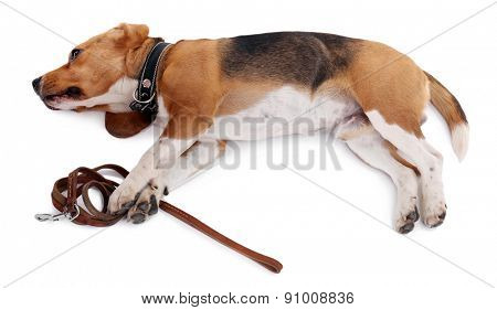 Funny cute dog isolated on white
