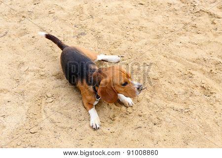 Funny cute dog on sand
