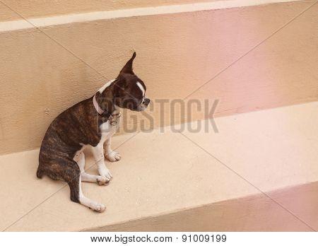 Boston Terrier Puppy Dog