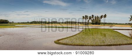 Panoramic View On Activities At Rice Paddies.