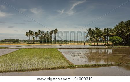 One Freshly Planted Rice Paddy And Others With Water.