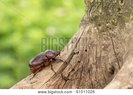 the female rhinoceros beetle crawling up the tree