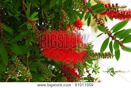 Red flower bottle brush Callistemon