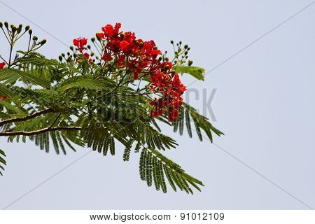 Beautiful red acacia branches. India Goa