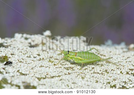 Green grasshopper on white cow parsley