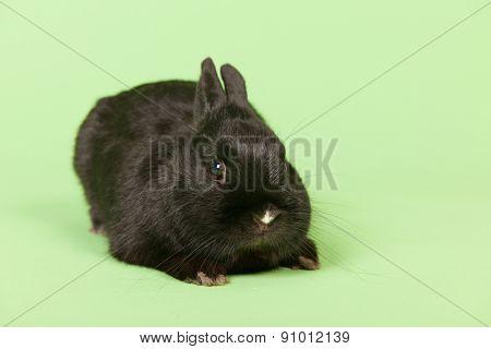 Black rabbit on green background in studio