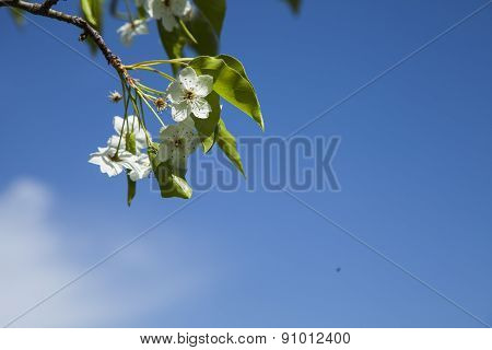 white spring tree flowers, Cherry blossoms