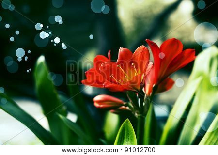 Red Lily Clivia flowers, nature background