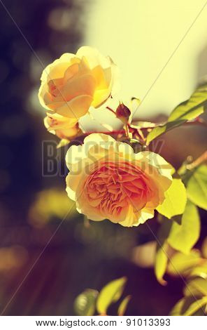 romantic background, yellow rose, summer flower