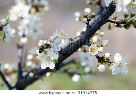 Blossoming of cherry flowers