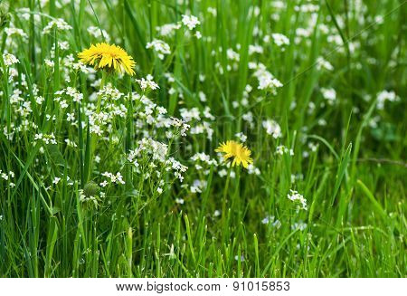 Yellow dandelion flowers with leaves