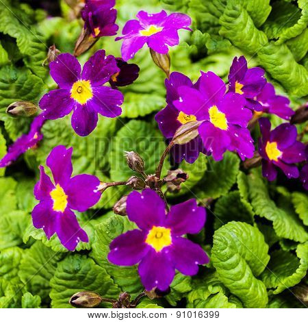 Thickets of flowering crimson inflorescences primrose in spring