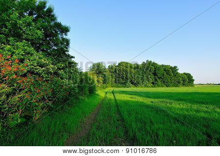 Green wheat field and forest