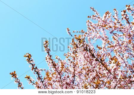 Blooming tree twigs with pink flowers in spring on blue sky