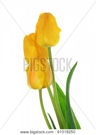 Beautiful bouquet of yellow tulips isolated on white
