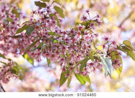 Thailand Pink Sakura Flower