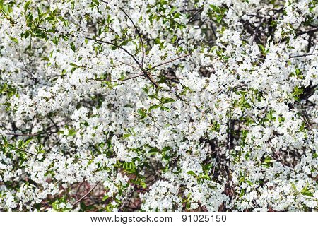 White Blossom Of Cherry Tree In Spring