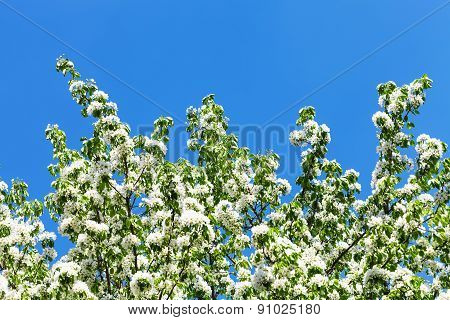 Branches Of Flowering Apple Tree With Blue Sky