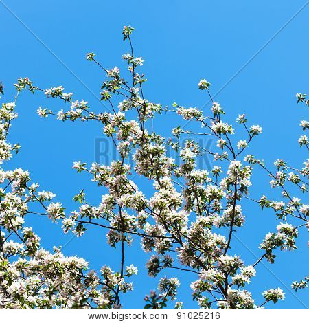 Branches Of Blossoming Apple Tree With Blue Sky