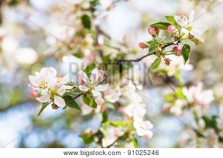 White And Pink Apple Tree Flowers Close Up