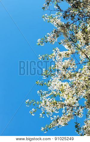 Branches Of Flowering Cherry Tree With Blue Sky
