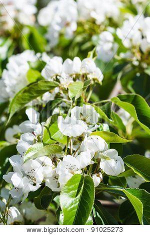Twig Of Flowering Apple Tree In Spring