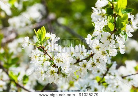 White Cherry Tree Blossoms Close Up In Sping