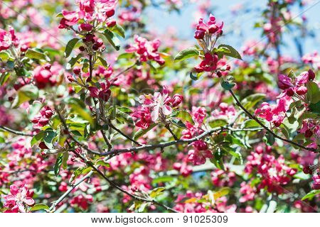 Pink Apple Tree Blossoms In Spring