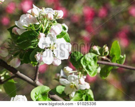 White Flower Of Blossoming Apple Tree