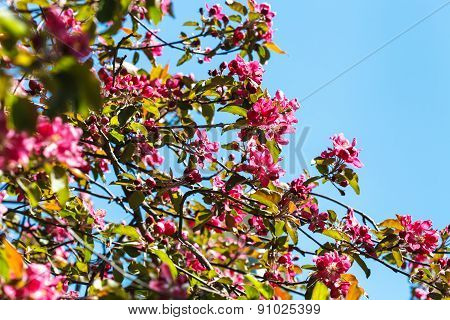 Branches Of Pink Blossoming Apple Tree