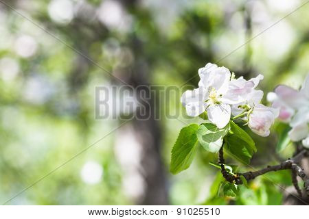 Flower On Blossoming Apple Tree In Green Forest