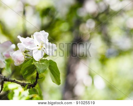 Blossoms Of Apple Tree Close Up In Green Forest