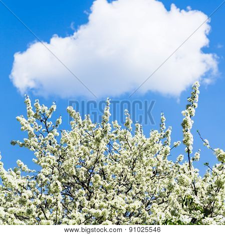 White Cloud In Blue Sky And Blossoming Cherry Tree
